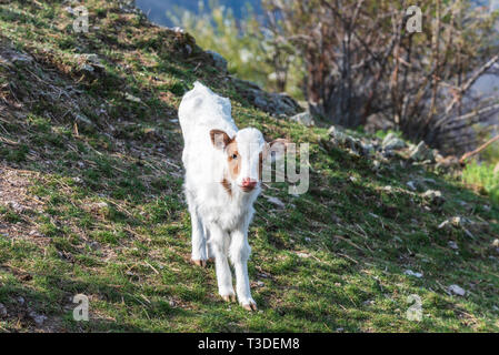 Small white calf in the mountain - Stock Image