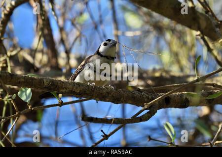 An Australian, Queensland Double-barred Finch ( Taeniopygia bichenovii ) getting ready to build a nest - Stock Image