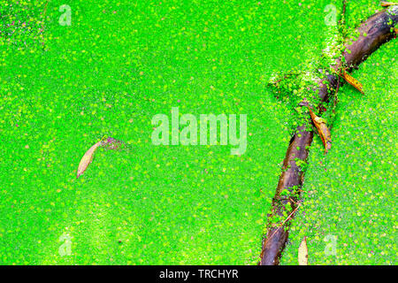 Natural abstract, pond covered by duckweed in Hampstead Heath of London - Stock Image