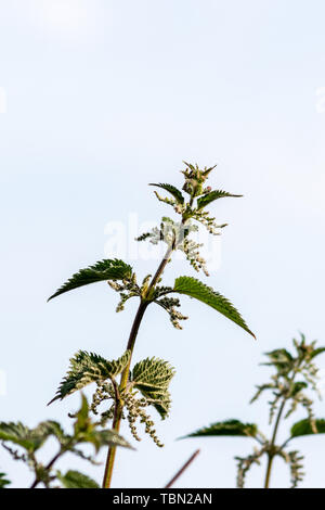 A flowering common stingling nettle Urtica dioica naturally isolated against a light grey sky showing flowers, stinging hairs, and aphids - Stock Image