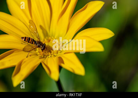 Hoverfly, also known as a flower fly, or syrphid flies, collecting nectar pollen from a yellow flower - Stock Image