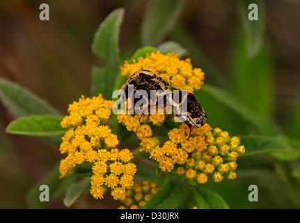 Flower Chafer Beetles, Euryomia argentea, Cetoniidae, Coleoptera. Madagascar, Africa. Syn. Cetonia argentata, Cetonia - Stock Image