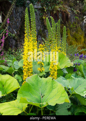 Upright spikes bear yellow daisy flowers in late summer above large basal leaves of the hardy perennial Ligularia 'Savill Spire' - Stock Image