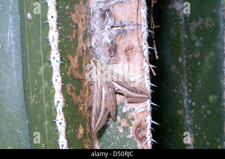 Silver-striped hawk moth (Hippotion celerio: Sphingidae) Namibia - Stock Image