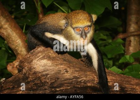 Mona monkey cercopithecus mona spots a food opportunity Baobeng Fiema Ghana - Stock Image