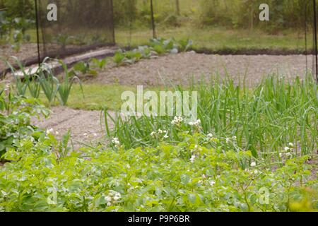 Potatoes, Onions, Leeks and protected Brassicas growing in a vegetable garden, Wales, UK. - Stock Image
