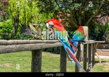 Scarlet Macaw Parrot's, Tropical Butterfly House, Sheffield, Nature - Stock Image