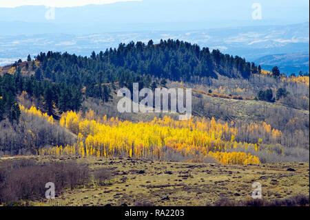 Grove of aspen trees turned yellow in autumn, Garfield County, Utah, USA. - Stock Image