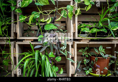 Vertical indoor garden made of old recycled wooden boxes. Background - Stock Image