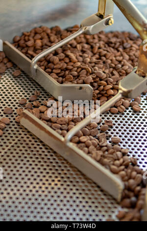 Traditional method of roasting dried organic arabica  coffee beans in roster with open grid for cooling, bio coffee farm close up - Stock Image
