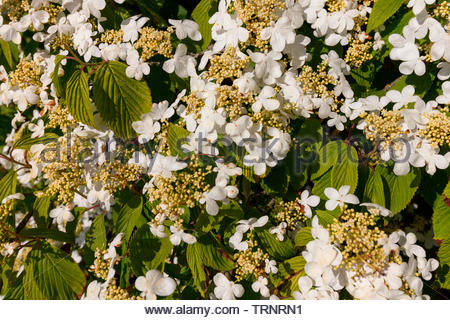 Viburnum plicatum 'mariesii' also known as Japanese Snowball - Stock Image