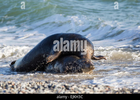 Grey Seal, Kegelrobbe, Halichoerus grypus, Helgoland, mating pair with bull on top - Stock Image