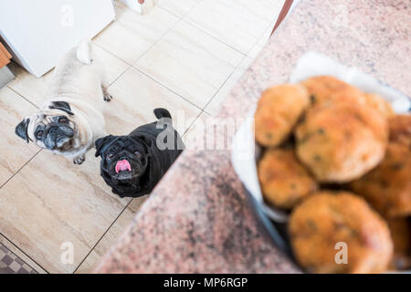 Couple of pug dogs white and black looking with interest to the meat ball on the table. Waiting for food - Stock Image