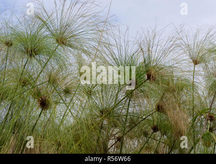 Papyrus (Cyperus papyrus) seed heads in the Mabamba Swamp on the edge of Lake Victoria.  Mabamba Bay Wetlands, Wakiso District, Uganda. - Stock Image