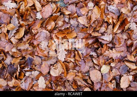 UK. Fallen leaves (beech and oak) in autumn - Stock Image
