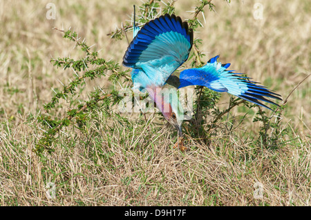 Lilac Breasted Roller, Corcias caudata, catching an insect, Masai Mara National Reserve, Kenya, Africa - Stock Image