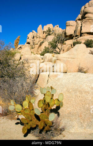 Rock Climb Hidden Valley Big Rocks Prickly Pear Cactus Mojave Desert Joshua Tree National Park, California - Stock Image