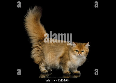 Angry British Red Cat with Furry tail and mad eyes on Isolated Black Background, side view - Stock Image