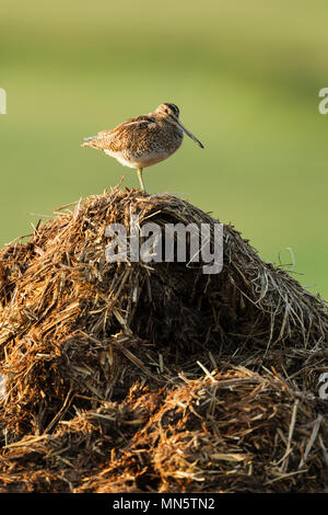 Common snipe, Latin name Gallinago gallinago, standing on one leg while resting on top of a manure pile in early morning light - Stock Image