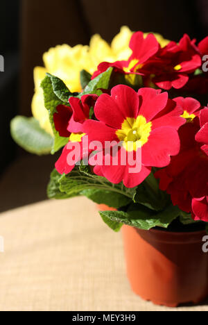 Beautiful red and yellow flowers photographed under natural light. Bright colors and an interesting light. - Stock Image