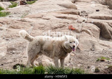 Greenland Husky dog (Canis lupus familiaris borealis) tied up outside in dog city district in summer. Sisimiut Qeqqata - Stock Image