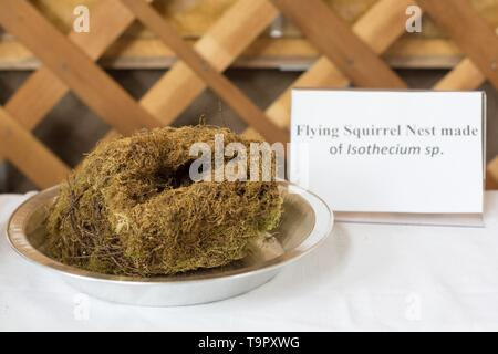 A flying squirrel nest made of moss, part of an educational moss display, at the Wildflower Festival at Mount Pisgah Arboretum in Eugene, Oregon, USA. - Stock Image