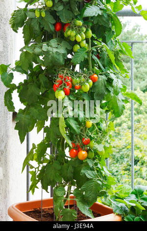 Tomato plant with green and red tomatoes in a pot on a balcony, urban gardening or farming - Stock Image