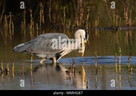 Grey Heron (Ardea cinerea) catching a small fish - Stock Image