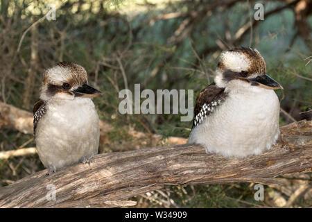 Laughing Kookaburra - Stock Image