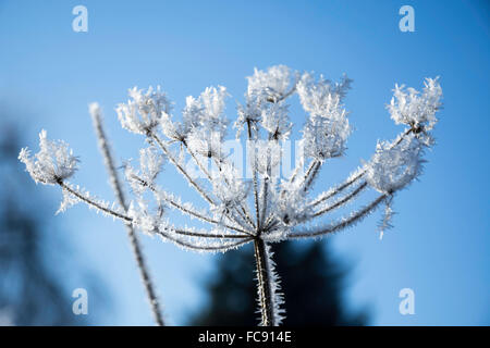 Frost Covered Hogweed - Stock Image