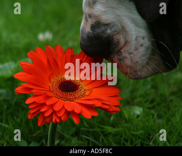 Great Dane smelling flower - Stock Image