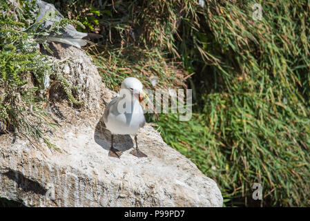 European herring gull at Saltee Island in County Wexford - Ireland - Stock Image