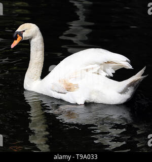 Beautiful white swam swimming in a small bond in a park located in Funchal, Madeira. Photographed during a sunny spring day. - Stock Image