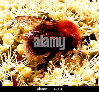 Bee on Flowering Hydrangea - Stock Image