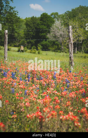 Texas country fence surrounded by bluebonnets and wildflowers - Stock Image
