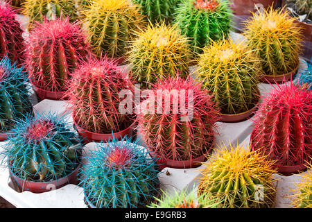 Arrangement of artificially colored cacti at a flower market or nursery the perfect pot plant to match your homes - Stock Image