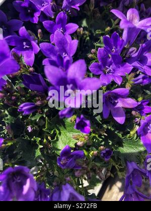 Ambella intense purple flowers - Stock Image