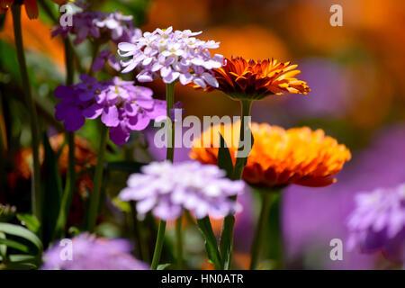 purple and orange flowers - Stock Image