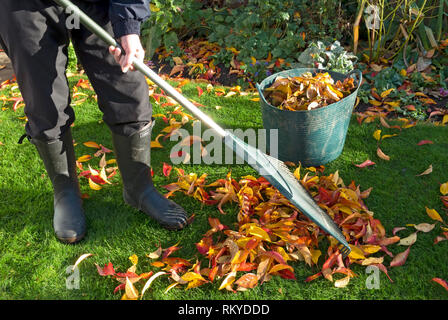 Man collecting fallen leaves in autumn in England. - Stock Image