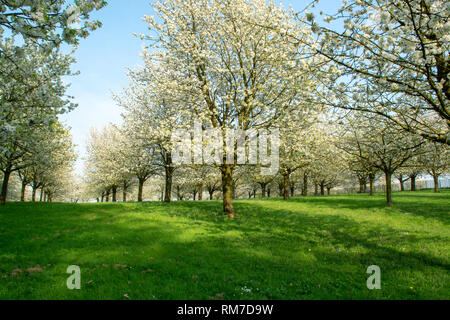 Cherry tree blossom, spring season in fruit orchards in Haspengouw agricultural region in Belgium, landscape - Stock Image