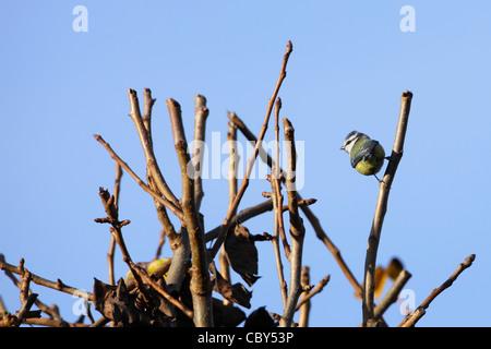 Blue Tit in tree : winter - Stock Image