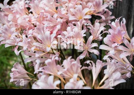 The newly opened flowers of Amaryllis belladona, Naked Ladies, or Resurrection Lilies, growing in Wichita, Kansas, USA. - Stock Image