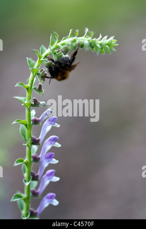 Selective focus image of a blooming Scutellaria altissima with a bumblebee. - Stock Image
