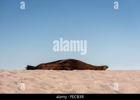 Sleeping Sea Lion, Galápagos - Stock Image