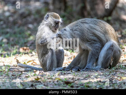 Juvenile Vervet monkey grooming an adult.  South Luangwa, ZAmbia - Stock Image
