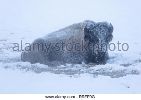 A frost covered bison bull in winter near Roaring Mountain February 19, 2019 at Yellowstone National Park, Wyoming. - Stock Image