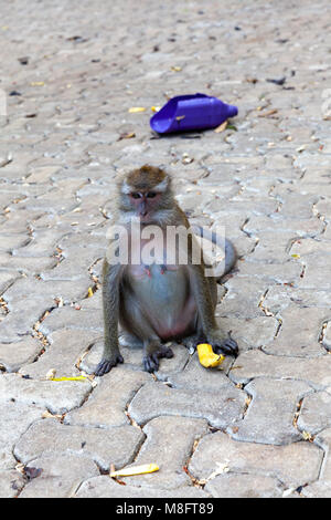 Crab-eating macaque. Tiger Cave Temple. Krabi, Thailand. - Stock Image