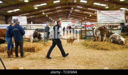 Ardingly Sussex UK 6th June 2019 - Preparations in the cattle shed on the first day of the South of England Show held at the Ardingly Showground in Sussex. The annual agricultural show highlights the best in British farming and produce and attracts thousands of visitors over three days . Credit : Simon Dack / Alamy Live News - Stock Image