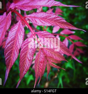 Pink leaves in Spring - Stock Image