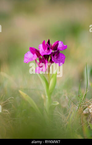 Pink Butterfly Orchid, Orchis papilionacea, Andalusia, Spain - Stock Image